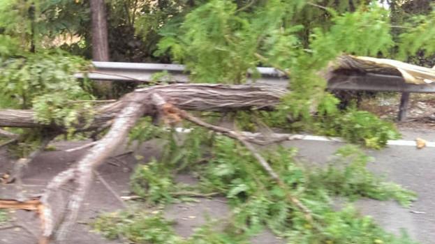 Cade un albero sulla strada Matera – Ferrandina